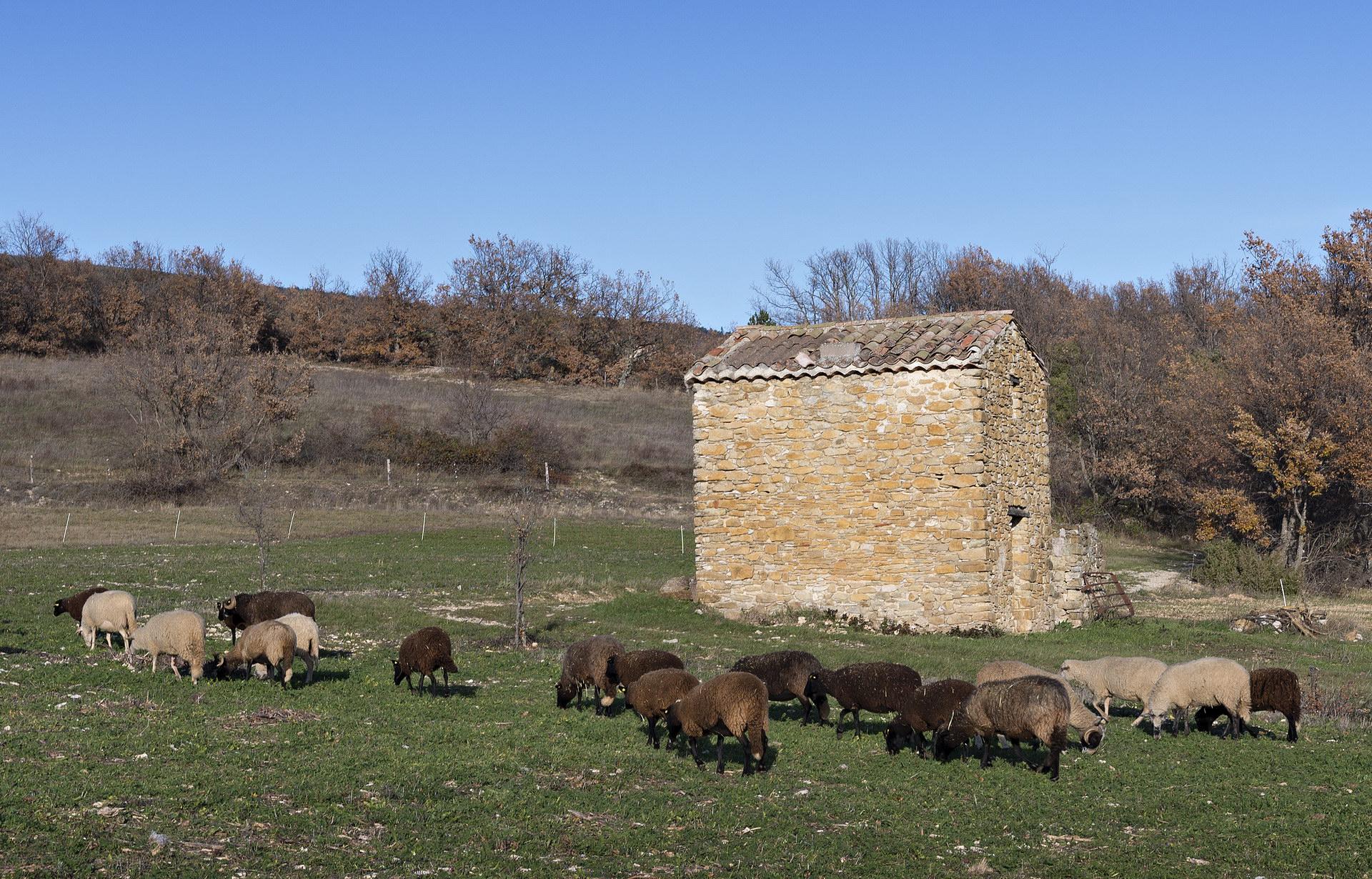 Fontaine Neuve gites et chambres d'hôtes à Lure : notre troupeau de brebis Bizet