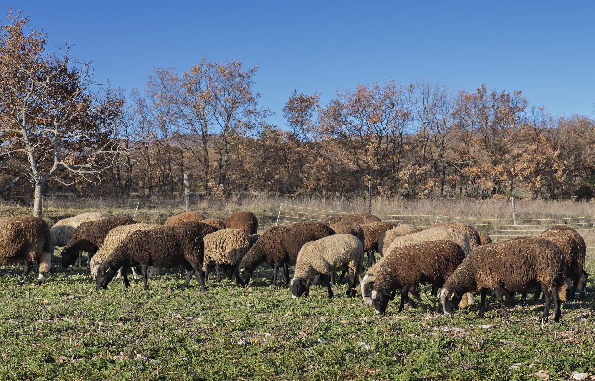 Fontaine Neuve gites et chambres d'hôtes à Lure : le troupeau de brebis