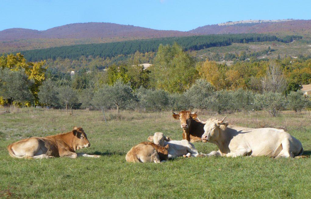 Fontaine Neuve gites et chambres d'hôtes à Lure : les vaches Villardes